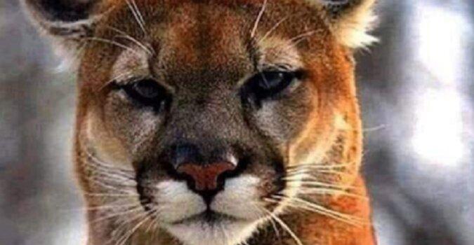 Najrzadszy, zagrożony podgatunek kuguar - kuguar z Florydy