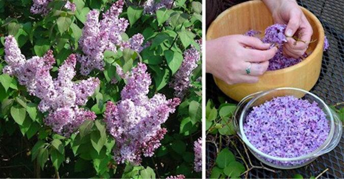 Co musisz zrobić wiosną podczas szczytu kwitnienia bzu