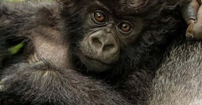 Mały i kędzierzawy model: mały goryl z niezwykłą fryzurą uroczo pozuje do zdjęć
