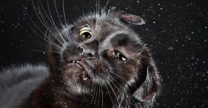 Koty, które strząsają z siebie wodę, w zwolnionym tempie: niesamowity widok
