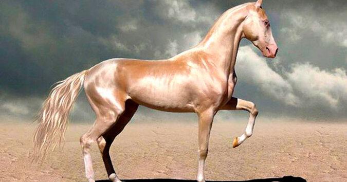 Jedna z najpiękniejszych ras koni. Te zwierzęta rozkochują w sobie od pierwszego wejrzenia
