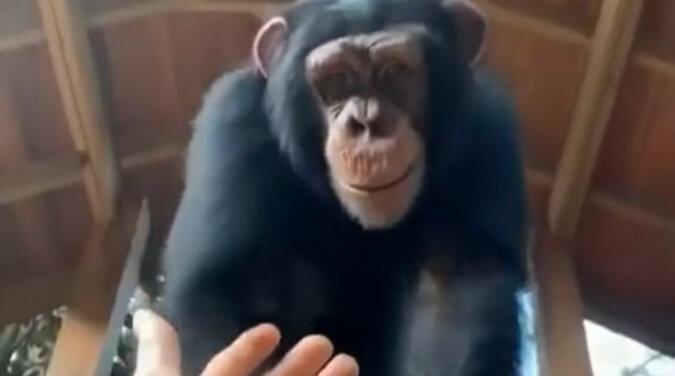 Małpka! Zabawny moment z udziałem szympansa i człowieka rozweselił Internet. Wideo
