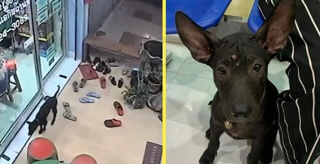 Zaginiony pies przyszedł  do kliniki weterynaryjnej, aby zwrócili go do domu