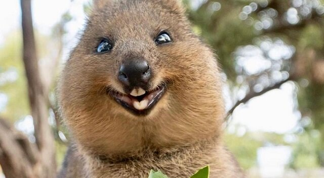 Kuoki to najsłodsze i najbardziej uśmiechnięte zwierzęta