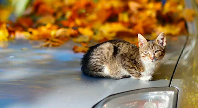 Cudowny ratunek: kociak przeżył, pokonując 150 kilometrów pod maską samochodu