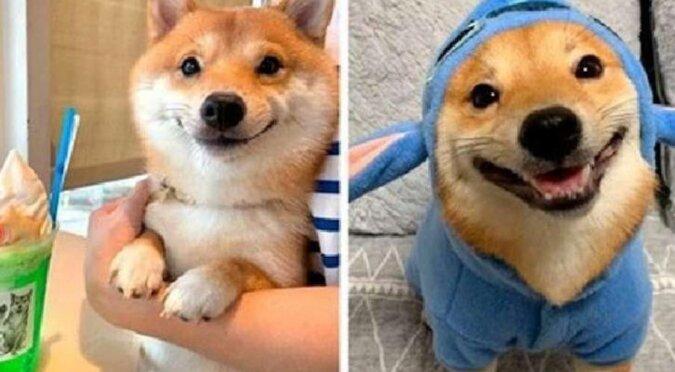 Uśmiechnięty szczeniak Uni z najbardziej uroczym uśmiechem na świecie mieszka w Japonii