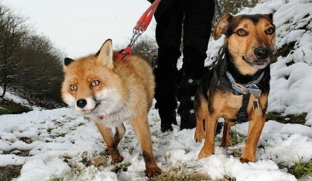 Lisica, która myśli, że ona jest psem domowym. Od dzikiego zwierzęcia u niej pozostał tylko wygląd