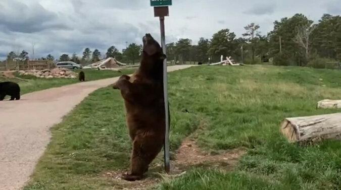 Niedźwiedź znalazł idealną drapaczkę do pleców. Wideo