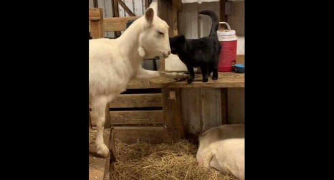 Koza i kotka, które rosły razem, pokazały, czym jest prawdziwa miłość. Wideo