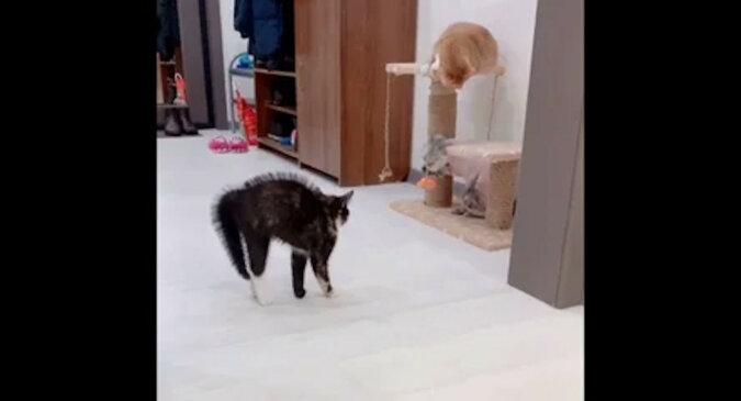Kotka nie rozpoznał kota po strzyżeniu - reakcja zwierzaka rozśmieszyła sieć
