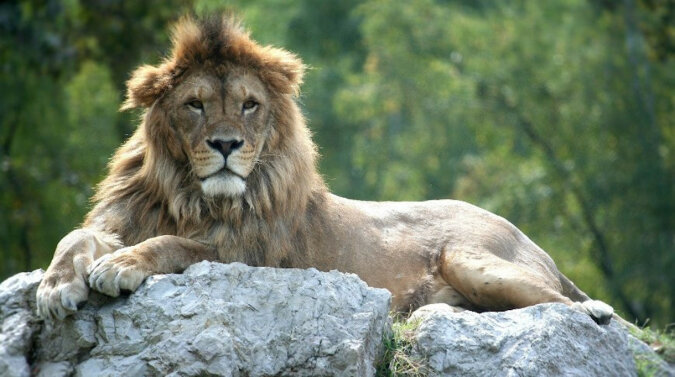 Fotograf uchwycił lwa, ale król zwierząt wygląda bardziej jak kociak