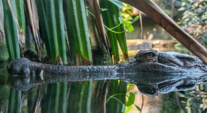 Ojciec Roku: na zdjęciu najbardziej opiekuńczy krokodyl i setka jego dzieci