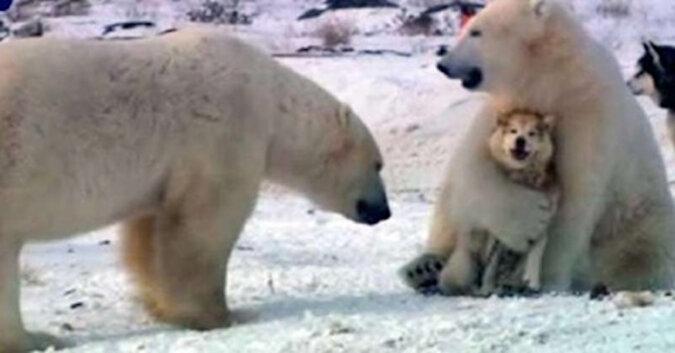 Gry niedźwiedzi polarnych z psami
