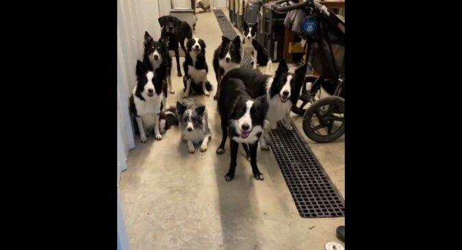 Wytrwałość i cierpliwość dużej rodziny psów do wychodzenia na spacer na zmianę zaskoczyła sieć. Wideo