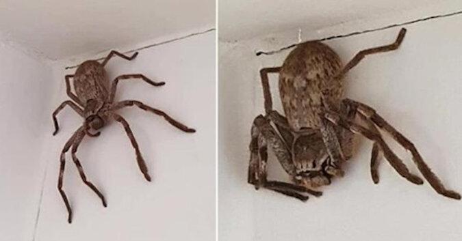 Dziewczyna zaniepokoiła pół Australii zdjęciami niespotykanego wcześniej pająka