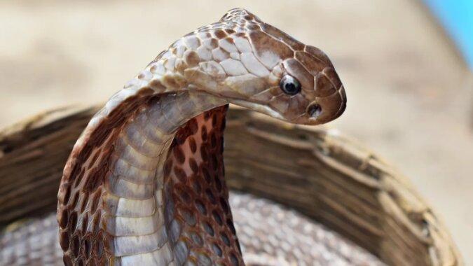 Historia mężczyzny, który spędził 72 godziny w wolierze z jadowitymi wężami, aby udowodnić, że są przyjazne