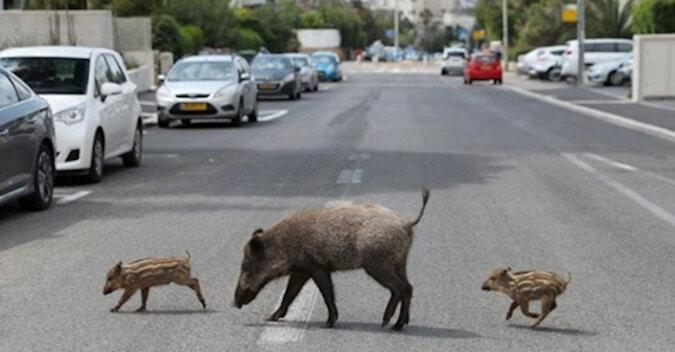 Bezczelne dziki bezceremonialnie wypędzają ludzi z miasta