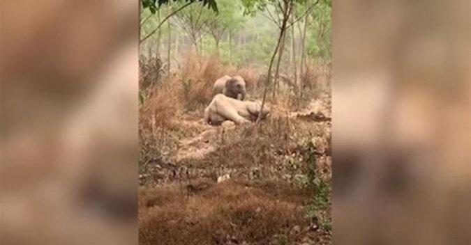 Odważne słoniątko chroni chorą matkę przed weterynarzami. Wideo