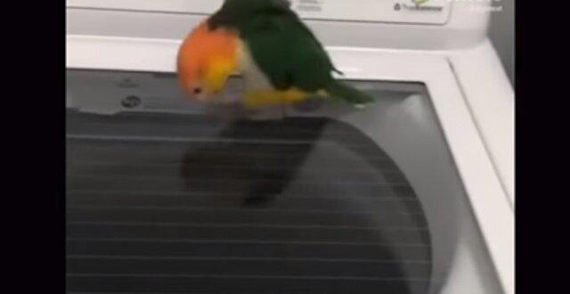 Co się dzieje: działająca pralka wprawiła papugę w zakłopotanie. Wideo