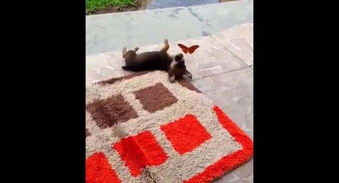 Właściciel przyłapał szczeniaka na zabawie z motylem. Niesamowite wideo