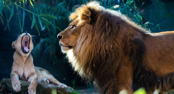 Lew pantoflarz: zobacz, jak lwica uderza króla zwierząt. Wideo
