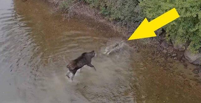 Kanadyjczyk przypadkowo sfilmował za pomocą drona atak wilka na łosia stojącego w jeziorze, a ich walka jest warta zobaczenia