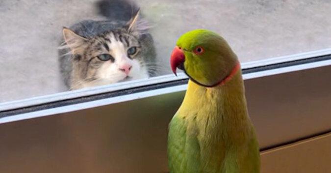 Nie złapiesz: bezczelna papuga zabawnie dokucza wściekłej kotce. Wideo