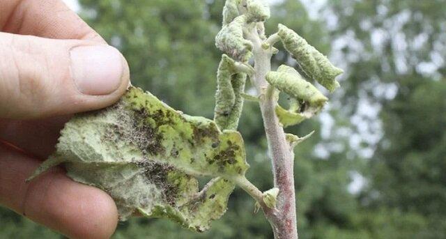 Łatwy sposób na usuwanie mszyc z liści drzew i krzewów