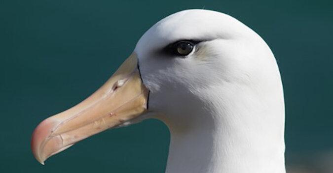 """Niezdarny albatros próbował """"trzymać twarz"""" po upadku: wideo"""