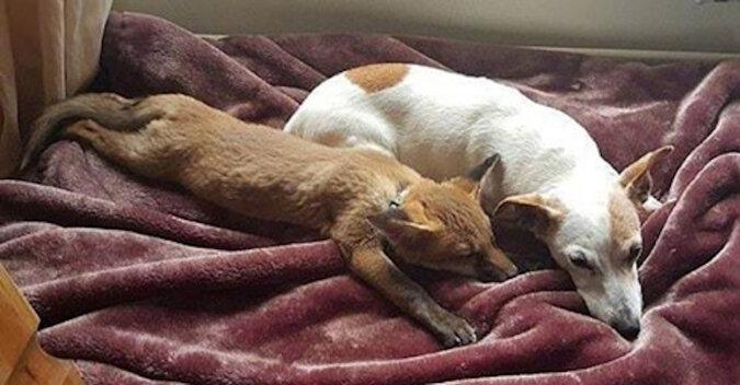 Dziewczyna uratowała lisie potomstwo, a jedno zwierzę zostawiła sobie. A jej psy podjęły się jego kształcenia