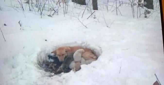 Mimo silnego mrozu pies nie zostawił szczeniąt i ogrzewał je całym ciałem