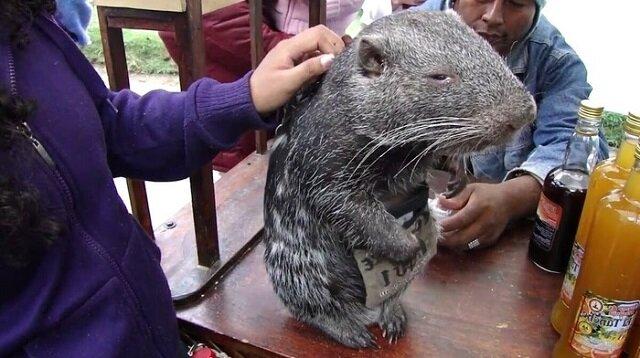 Największa i najbardziej urocza mysz świata – Pakarana