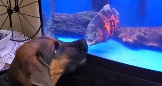 """""""Ja ci pokażę"""": walka ryby w akwarium z psem. Wideo"""