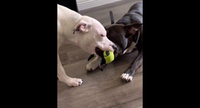 Dwa psy walczyły o zabawkę tak długo, aż zasnęły z nią w zębach. Zabawne wideo