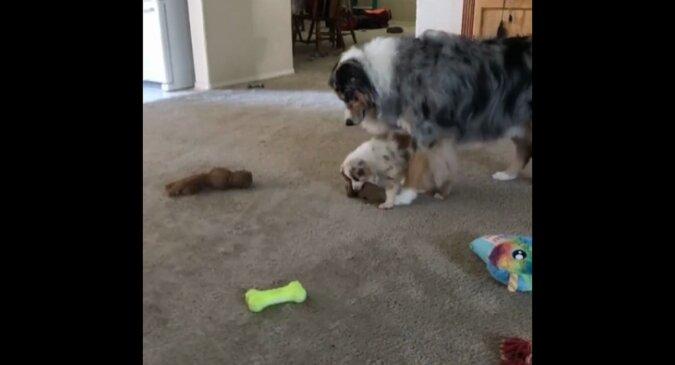 Szczeniak postanowił pobawić się ulubioną zabawką mamy, a jej reakcja wszystkich rozśmieszyła. Wideo
