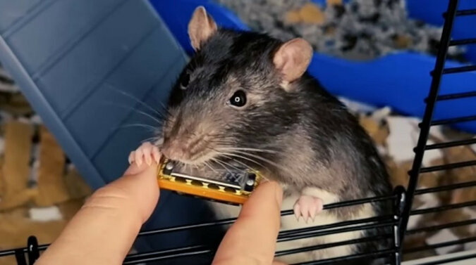 Szczur oczarowuje Internet swoim niezrównanym talentem muzycznym. Wideo