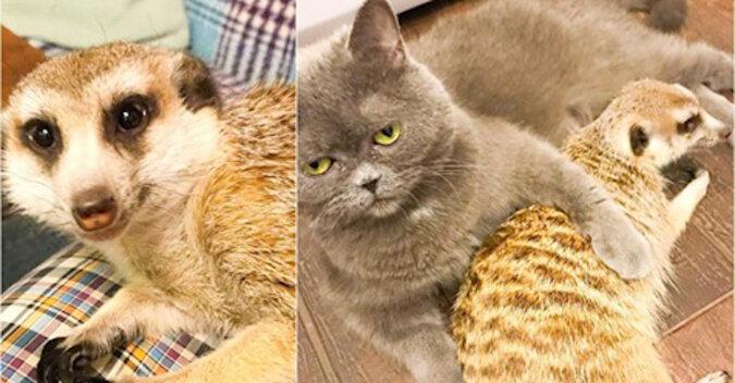 Surykatka, która została zabrana z zoo kontaktowego, mieszka teraz w domu i przyjaźni się z kotem