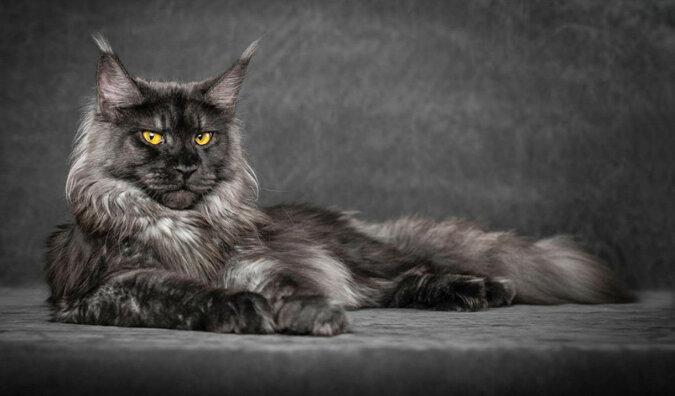 TOP 5 najbardziej mściwych ras kotów domowych
