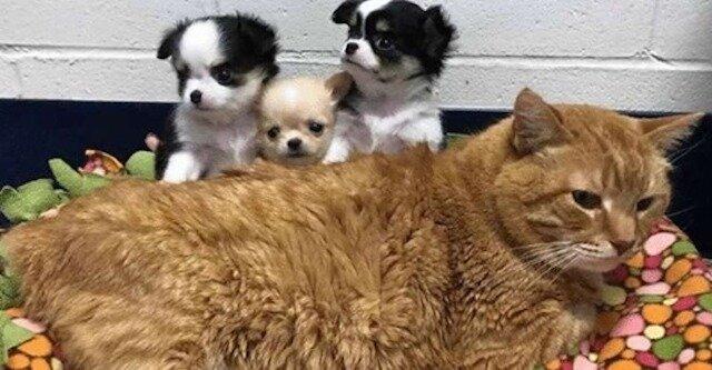 Wąsaty pielęgniarz: chory rudy kot został pracownikiem kliniki weterynaryjnej