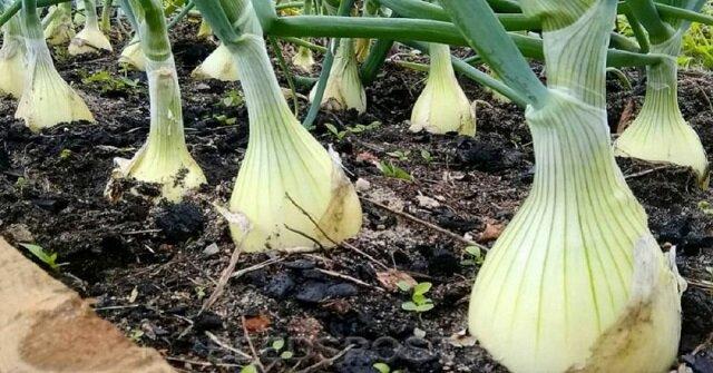 Jak wyhodować dużą cebulę i czosnek