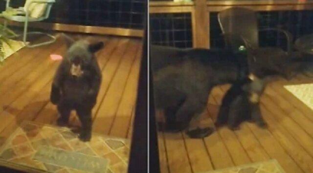 Niedźwiedź wyciągnął za ucho młode, które chciało wejść do cudzego domu
