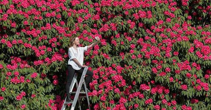 Różanecznik wielkości domu: rozkwitł brytyjski cud