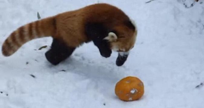 Panda czerwona bawi się dynią na śniegu