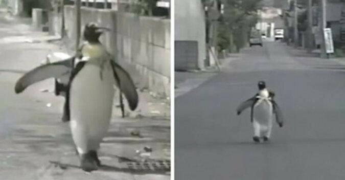 Pingwin Lala przeszła do historii - sama chodziła do sklepu kupować rybę