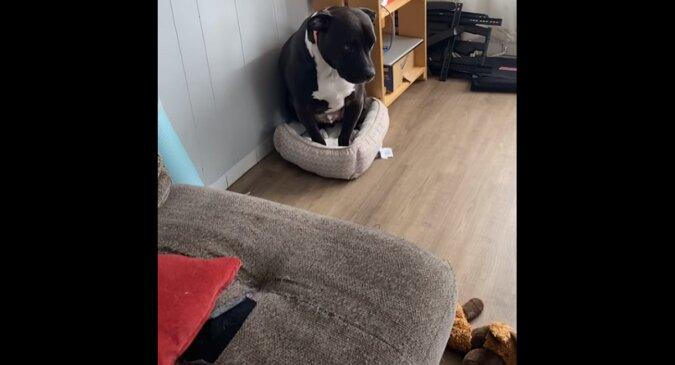Kot wypędził dużego psa z łóżka i obraził go do łez. Wideo