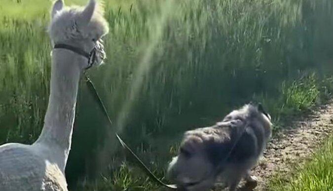 Alpaki i pies wychodzą na spacer. Wideo