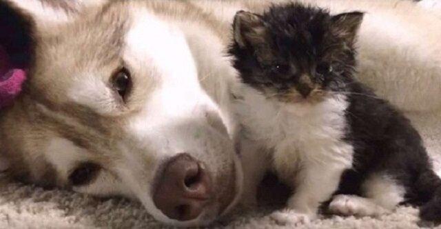 Pies zastąpił matkę kotkowi i teraz kotek Woof uważa siebie za psa