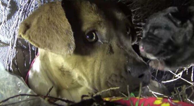 Suczka Pit Bulla całowała każdego szczeniaka, którego zabrali ludzie. Zobacz poruszające nagranie akcji ratunkowej
