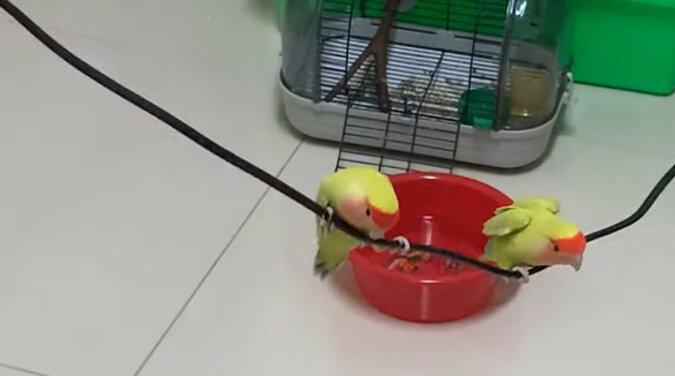 Dwie papugi nie bały się spróbować domowej huśtawki i rozśmieszyły Internet. Wideo