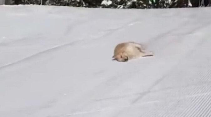 Pies znalazł niezwykły sposób zjazdu z góry i rozbawił Internet